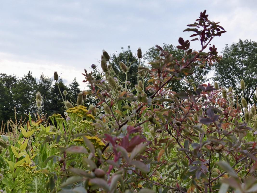 Herbstlicher saum mit Rosa glauc, Rainfarn und Wilder Karde